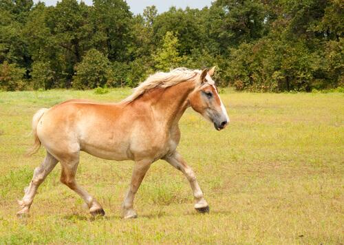 Il cavallo Belga da tiro: caratteristiche e curiosità