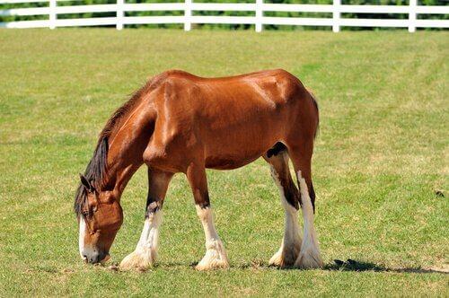 un cavallo da tiro pascola su un prato verde