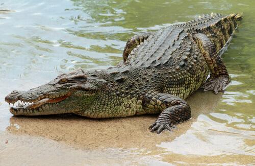 un coccodrillo africano riposa sul lato di un fiume