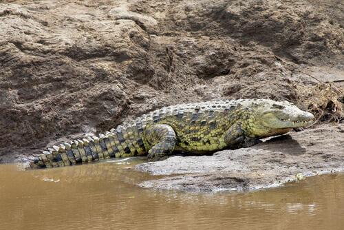 un coccodrillo africano vicino ad un guado