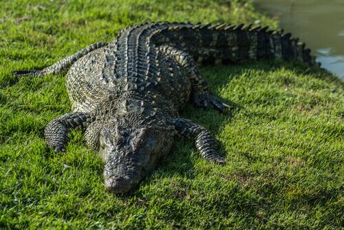 un coccodrillo si riscalda sull'erba sotto al sole