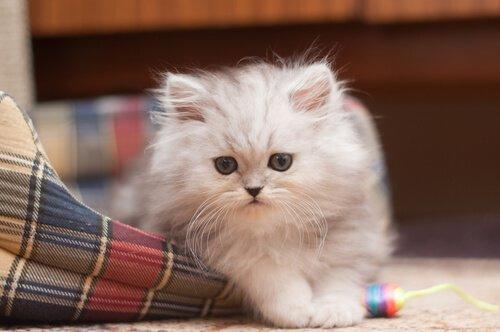un cucciolo di gatto persiano con le zampe fuori dalla cuccia