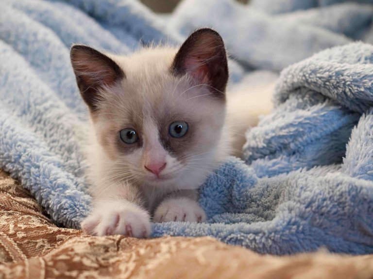 Clamidiosi felina: cause, sintomi e trattamento