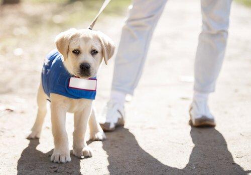 un cucciolo di labrador bianco a passeggio con guinzaglio e giacchina