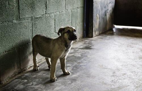 un cucciolo di mastino con collare in una stanza