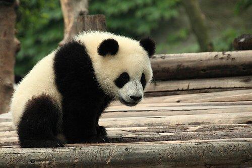 L'orso panda in Cina, simbolo di cultura e tradizione