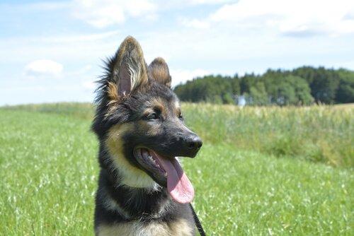 un cucciolo di pastore tedesco seduto sull'erba