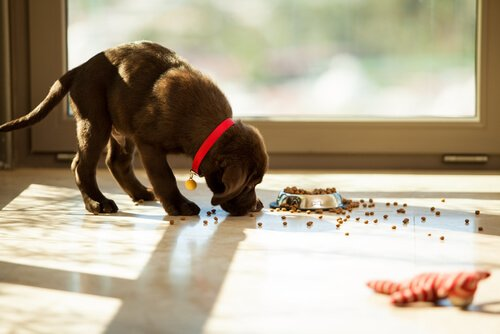 un cucciolo mangia croccantini caduti dalla ciotola sul pavimento
