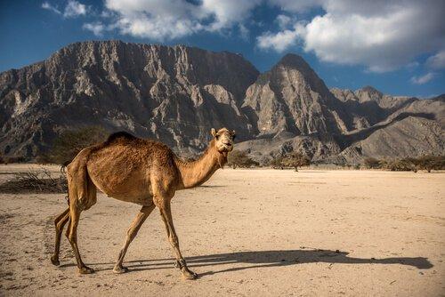 un dromedario cammina solo tra deserto e montagne