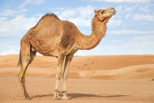 un dromedario nel deserto