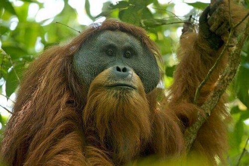 Una nuova specie di orango: scopriamola assieme