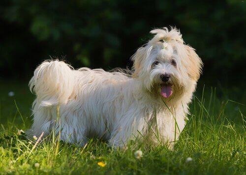 Bichon Havanais, il cane europeo che arrivò a Cuba