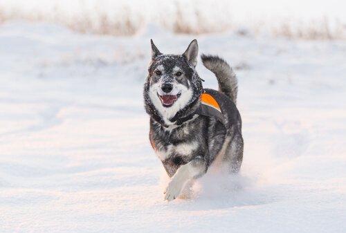 Tutto sul Jamthund, il cane nazionale della Svezia