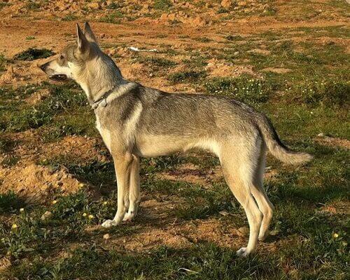 un esemplare di cane lupo di profilo in piedi