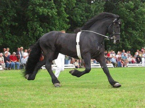 un esemplare di cavallo Frisone durante una manifestazione ippica