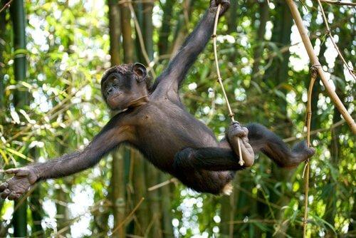 un esemplare giovane di bonobo salta tra i rami