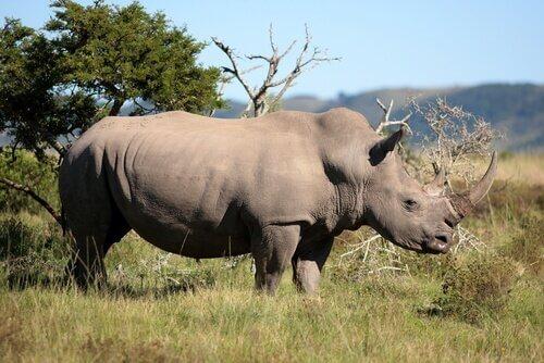 un esemplare maschio adulto di Rinoceronte africano