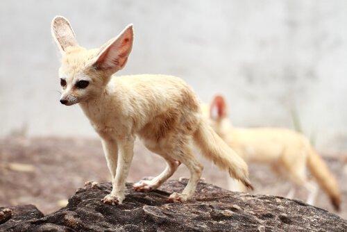 Fennec, alla scoperta della volpe del deserto