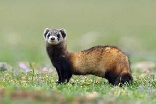 un furetto in piedi sull'erba