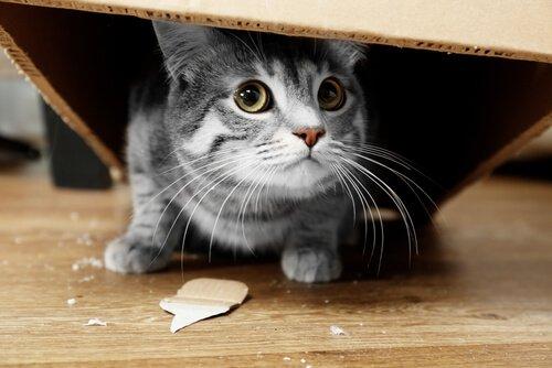 un gattino nascosto sotto una scatola di cartone