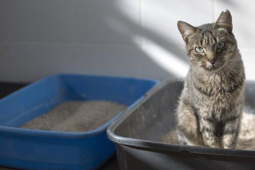 un gatto grigio nella sua lettiera di sabbia