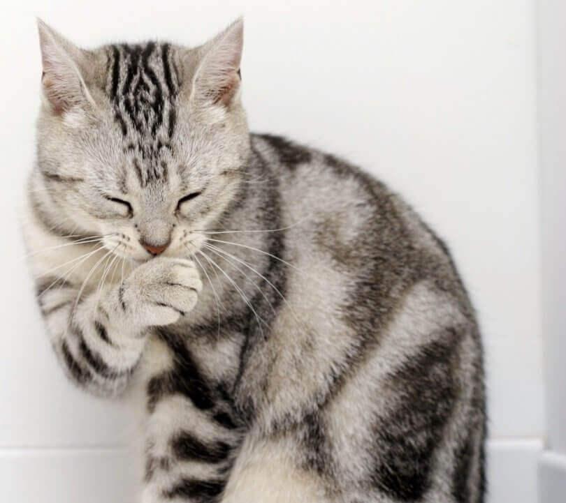 un gatto grigio si lecca la zampa