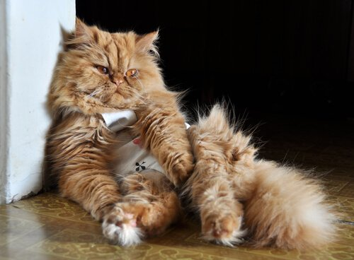 un gatto persiano appoggiato alla parete