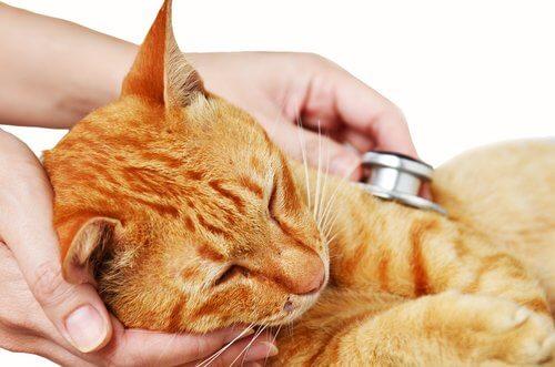 un gatto visitato da un veterinario