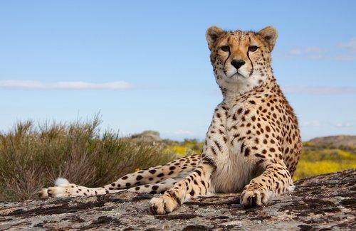 un ghepardo riposa disteso su una roccia