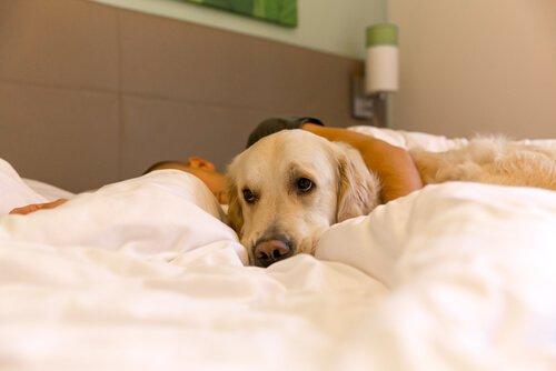 un golden retriever nel letto con i padroni