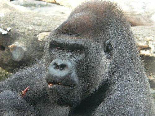Gorilla mangia bacche nel suo habitat