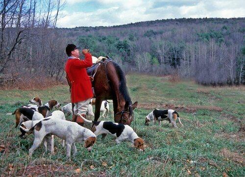un gruppo di cani con un cacciatore di volpi a cavallo