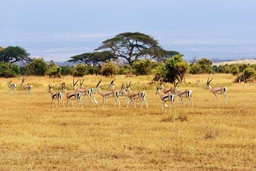 un gruppo di gazzelle al pascolo nel Serengeti