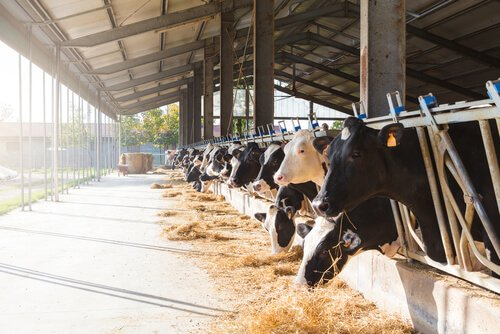 un gruppo di mucche in batteria ruminano fieno