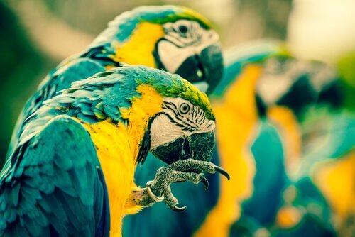 Gruppo di pappagalli adulti della specie ara gialli e blu