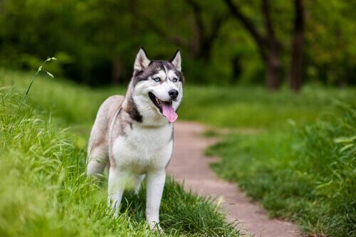 Come funziona la chirurgia della cataratta nei cani?