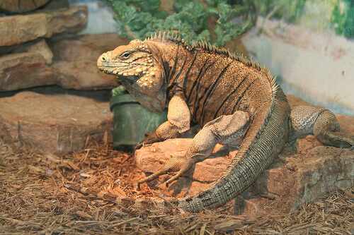 Malattie dell'iguana: quali sono e come curarle