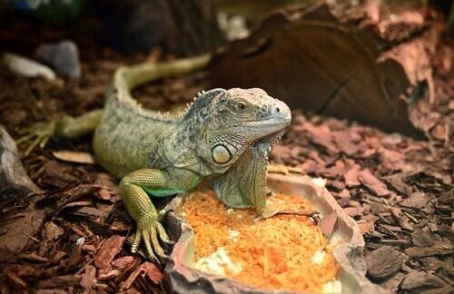un iguana verde appoggiato sulla pietra di un terrario