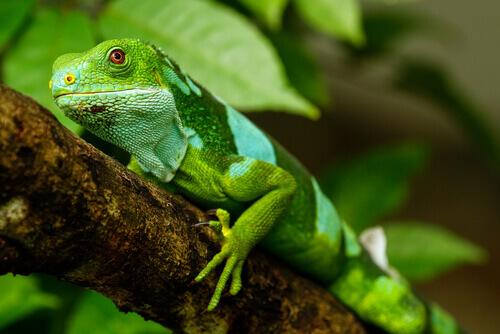 iguana verde chiaro riposa appoggiata su un ramo