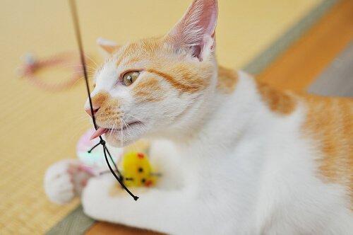 un micio domestico gioca con un topolino di plastica legato
