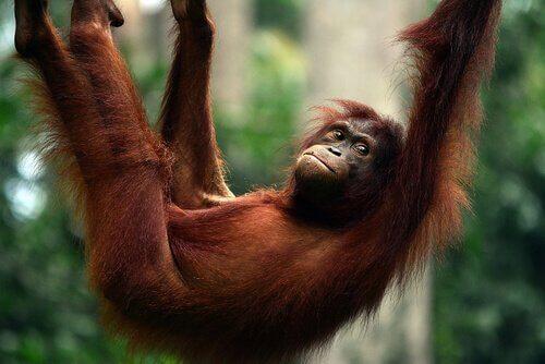 un orango penzola da un ramo