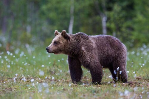un orso bruno in un prato fiorito