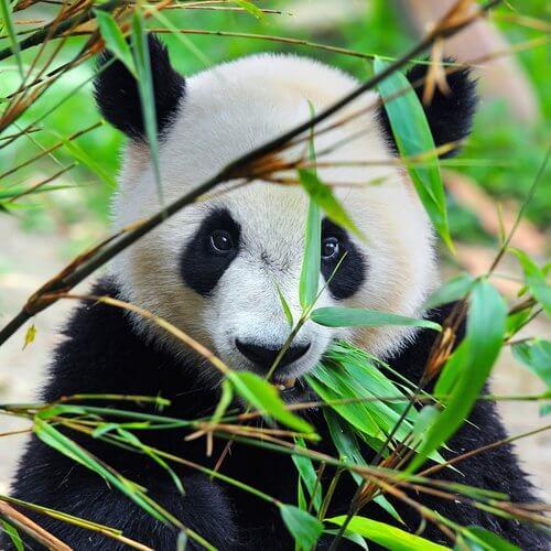 un orso panda dietro piante di bambù