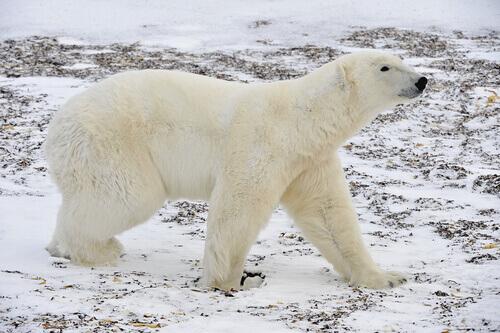 un orso polare adulto cammina sul terreno innevato