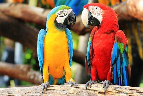 un pappagallo ara giallo con un altro rosso