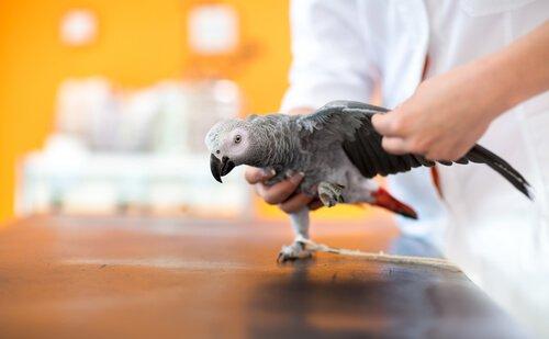 un pappagallo grigio con problemi a un'ala dal veterinario