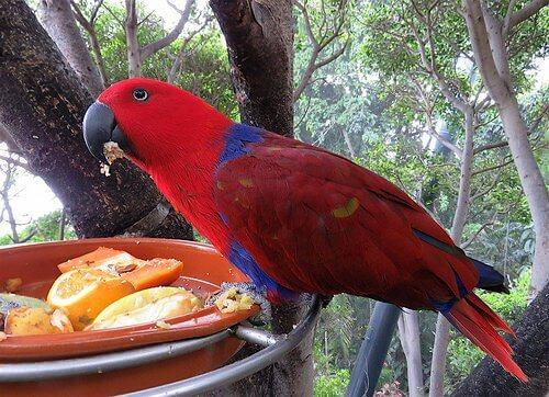 un pappagallo variopinto mangia delle arance all'aperto