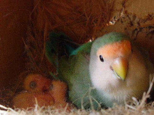 un parrocchetto all'interno del suo nido