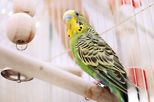 5 malattie tipiche degli uccelli in gabbia