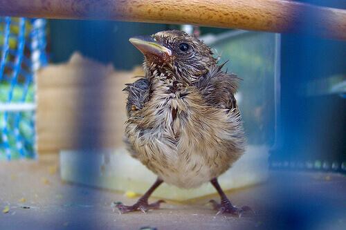 un passerotto domestico malato e bagnato